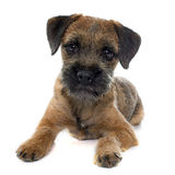 Purebred border terrier. In front of white background Stock Photos
