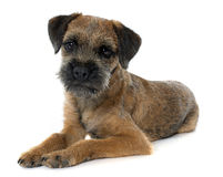 Purebred border terrier. In front of white background Stock Image