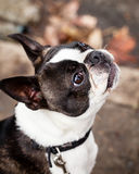 Purebred Boston Terrier Dog Looking Up on the Street Stock Photos