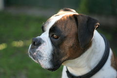 Purebred Boxer. Showdog Stock Photo