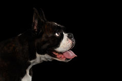 Purebred Boxer Dog Isolated on Black Background Stock Photography