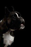 Purebred Boxer Dog Isolated on Black Background Royalty Free Stock Images