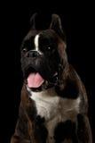 Purebred Boxer Dog Isolated on Black Background Stock Image