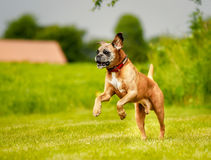 Purebred Boxer dog Stock Images