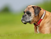 Purebred Boxer dog Stock Image