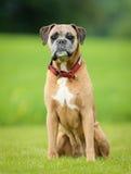 Purebred Boxer dog Stock Photography