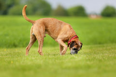 Purebred Boxer dog Royalty Free Stock Photography