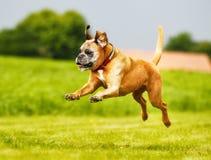 Purebred Boxer dog Stock Photo