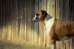 Purebred Boxer Royalty Free Stock Photos