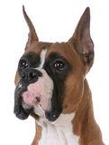 Purebred boxer Royalty Free Stock Photography