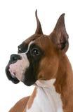 Purebred boxer Stock Image