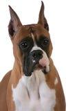 Purebred boxer Royalty Free Stock Image