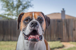 Purebred boxer. Profile of a purebred boxer dog in backyard with fence Stock Image