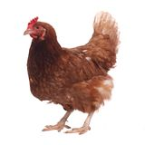 Purebred brown chicken isolated on white background stock photo