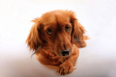Purebred brown longhaired dachshund dog Stock Photo