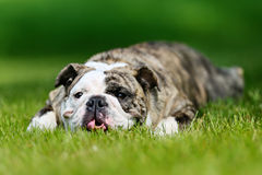 Purebred bulldog Stock Photos