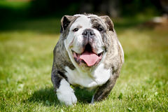 Purebred bulldog Royalty Free Stock Photography