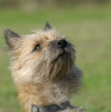 Purebred cairn terrier royalty free stock image