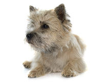 Purebred cairn terrier. In front of white background royalty free stock photography