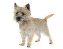 Purebred cairn terrier. In front of white background stock photography