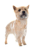 Purebred cairn terrier Stock Images