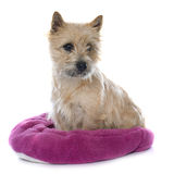 Purebred cairn terrier Royalty Free Stock Photos