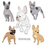 French Bulldog set isolated on white background. Purebred canine hand drawn illustration. Set of five frenchies in different color stock illustration