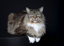 Purebred cat Royalty Free Stock Photo
