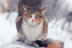 Purebred cat Stock Photography