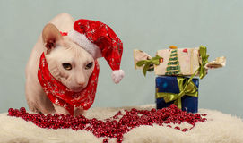Purebred cat dressed as Santa Claus. Portrait of a purebred Cota dressed as Santa Claus Stock Image