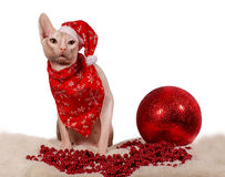 Purebred cat dressed as Santa Claus Stock Photo