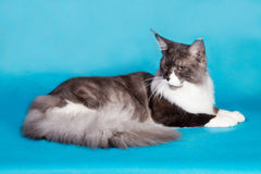 Purebred cat Maine Coon Royalty Free Stock Photography