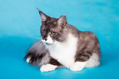 Purebred cat Maine Coon Stock Image
