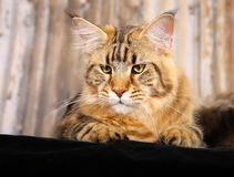 Purebred cat Stock Images