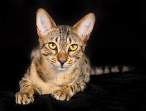 Purebred cat Royalty Free Stock Image