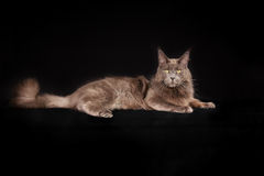 Purebred cat Stock Photos
