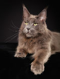 Purebred cat Royalty Free Stock Images
