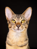 Purebred cat Stock Image