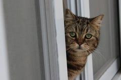 Purebred cat tabby British. Green-eyed Royalty Free Stock Photos