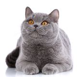 Purebred cat.. Well-groomed kitten. Pet, comfort, love and serenity concept. Gray cat - british straight. Gray cat british straight on a white background Royalty Free Stock Photos