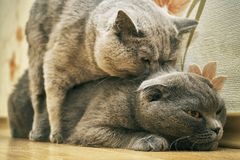 Purebred cats make love. Scotland lop-eared female cats and british shorthair male cat are mating indoors Stock Photography
