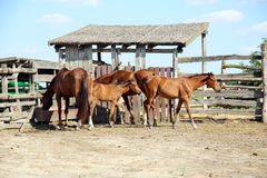 Purebred chestnut foals and mares eating forage in the corral su Stock Photography