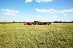 Purebred chestnut foals and mares eating green grass on the meadow Royalty Free Stock Photos