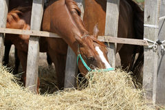 Purebred chestnut horses feeding on rural animal farm summertime Royalty Free Stock Images