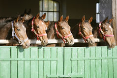 Purebred chestnut racehorses looking over the barn door stock illustration