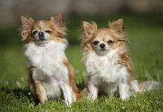 Chihuahuas in nature Royalty Free Stock Photos