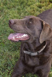 Purebred Chocolate Labrador Royalty Free Stock Photo