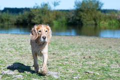 Purebred Cocker Spaniel. On a background of the sandy hill and green grass. On the river bank Royalty Free Stock Photography
