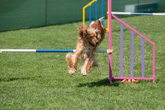 Cocker Spaniel jumping over obstacle on agility competition. Se stock photos