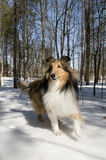 Purebred Collie Stock Image